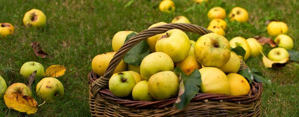 Avec l'arrivée de l'automne, cueillir ses pommes dans un panier et accueillir la nature